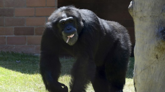 Chimpaze_africa