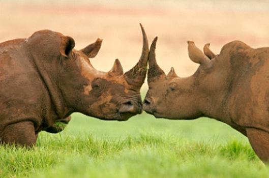 Rinoceronte_africanos