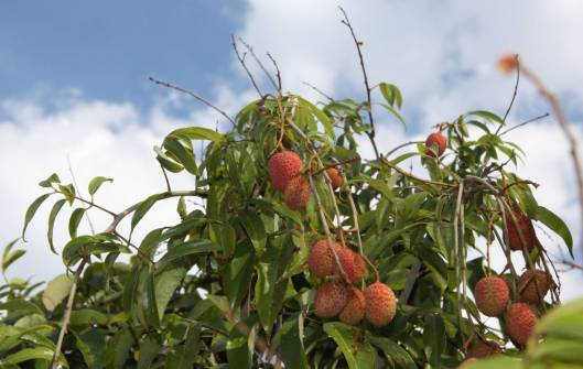 lichia_fruto