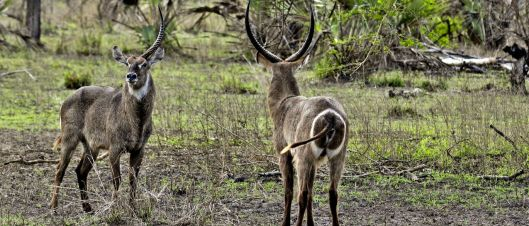Gorongosa_antilopes