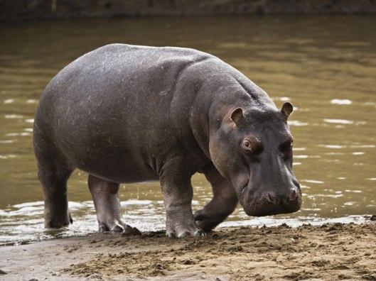 hipopotamo-Mocambique